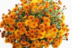 chryzantemy pomarańczowe Fotografia Royalty Free