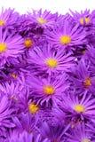 chryzantemy purpurowe Obraz Royalty Free
