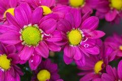 chryzantemy purpurowe Zdjęcia Stock