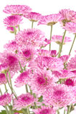 Chryzantemy różowy zbliżenie. Fotografia Stock