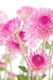 Chryzantemy różowy zbliżenie. Zdjęcie Stock