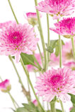 Chryzantemy różowy zbliżenie. Zdjęcia Stock