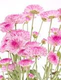 Chryzantemy różowy zbliżenie. Obraz Stock