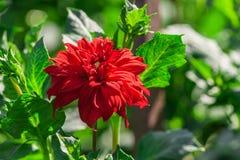 chryzantemy rozmaitości kredo, jeden jaskrawy szkarłatny kwiat zdjęcia royalty free