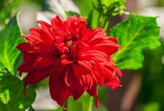 chryzantemy rozmaitości kredo, jeden jaskrawy szkarłatny kwiat fotografia stock