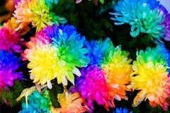 Chryzantemy tęczy kwiat Zdjęcie Stock