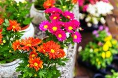 Chryzantemy w garnkach w kwiatu sklepie Fotografia Royalty Free