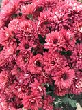Chryzantemy w jesieni jesień łatwy karciany redaguje kwiaty wakacje modyfikuje Fotografia Stock