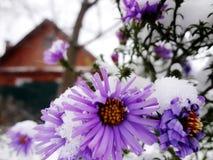 chryzantemy - zima kwiaty Zdjęcia Stock