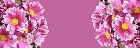 Chryzanthemum flowers borders