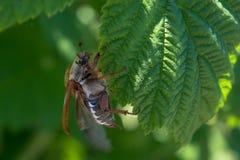 Chrząszcz ściga próbuje latać od zieleni opuszcza podczas wczesnego wiosna czasu zdjęcia stock