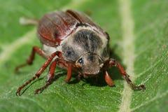 chrząszcz Zdjęcia Stock