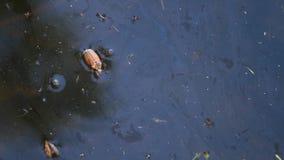 Chrząszcz flądra w wodzie zbiory wideo