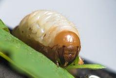 Chrząszcz larwa - biali pędraki zdjęcie stock