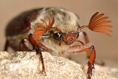 Chrząszcz (Melolontha melolontha) z antennae rozprzestrzeniającymi zdjęcie royalty free