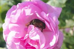 Chrząszcz na różowi różanego w ogródzie obrazy royalty free