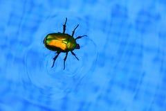 Chrząszcz unosi się w pływackim basenie Obraz Stock