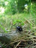 chrząszcze obornika obraz stock