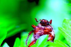 chrząszcz Fotografia Stock