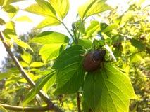 chrząszcz Zdjęcie Stock