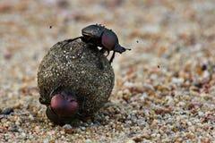 chrząszcze obraz stock