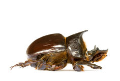 chrząszcze obornika Obrazy Stock