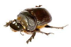 chrząszcze obornika Obraz Royalty Free