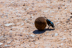 chrząszcze obornika Zdjęcie Royalty Free