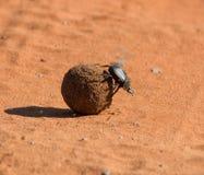 chrząszcze obornika Zdjęcia Stock