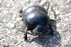 chrząszcze obornika Fotografia Royalty Free