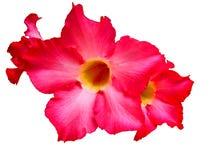 chuan chom kwiat Obraz Stock