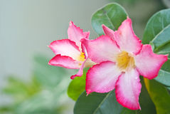 Chuanchom flower. Can grow any where in Thailand Royalty Free Stock Images
