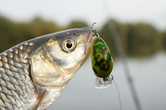 Chub caught on a green hardbait Stock Images