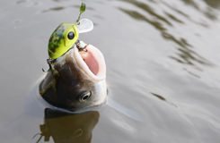Chub caught on a green hardbait, copy space Royalty Free Stock Photos