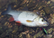 Chub caught on a hardbait Royalty Free Stock Photo