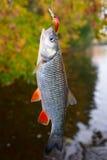 Chub caught on a plastic bait, autumn scenics Stock Photos
