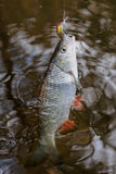 Chub caught on a plastic bait Stock Photography