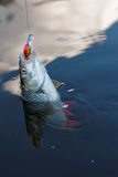 Chub caught on a plastic bait in water Stock Image