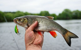 Chub caught on plastic lure Stock Image