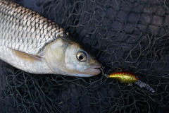 Chub caught on plastic lure Stock Photography