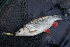 Chub caught on plastic lure Royalty Free Stock Images