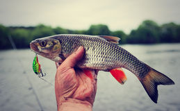 Chub caught on plastic lure, toned Stock Image