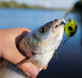 Chub caught on spinning bait Royalty Free Stock Photography