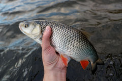 Chub in fisherman's hand Royalty Free Stock Photography