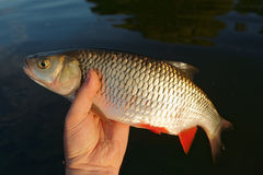 Chub in fisherman's hand Stock Images