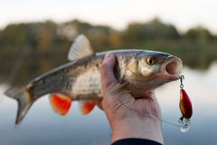 Chub in fisherman's hand Stock Photography