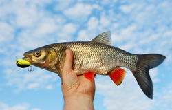 Chub in fisherman's hand shot against blue sky Royalty Free Stock Photos