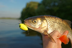 Chub in fisherman's hand Stock Photo