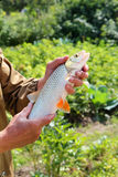 Chub in the hand of fisherman over green background Royalty Free Stock Images
