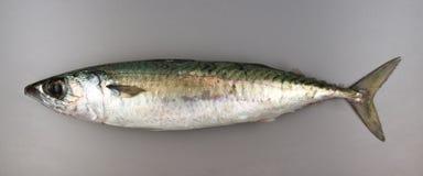 Chub mackerel on grey background Royalty Free Stock Images